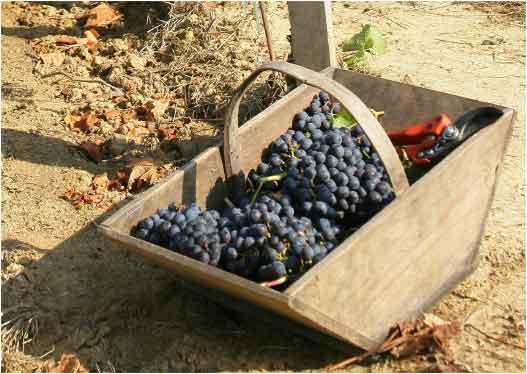 ענבים - חתומים על כשרות ענבי טלי כשרים למהדרין