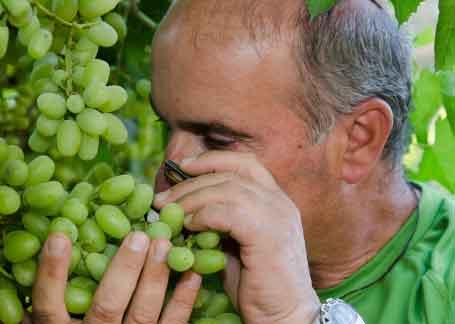 בקדמת גידולי הענבים