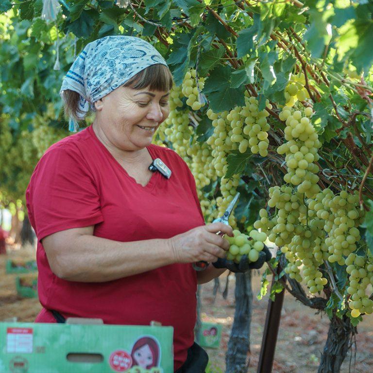 מרים בוצרת ענבים