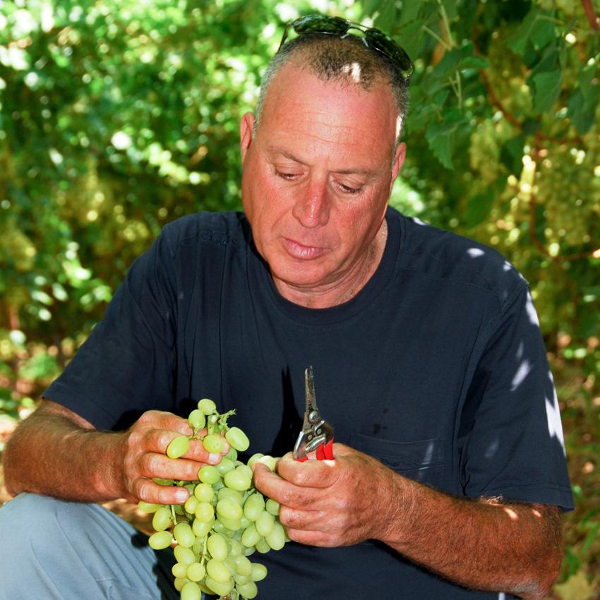 אבי, כורם בענבי טלי