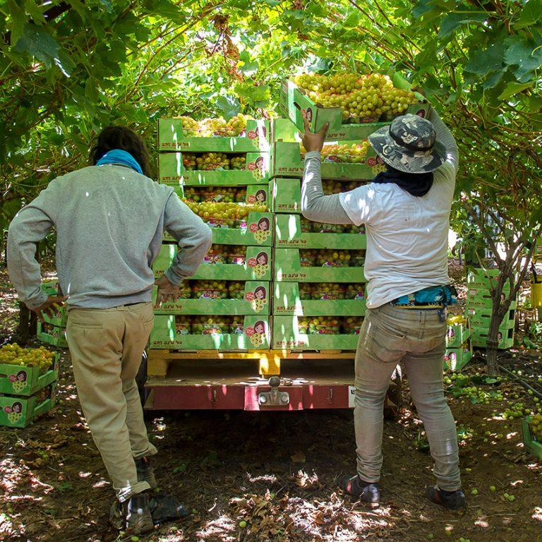 העמסת ענבים לעגלה