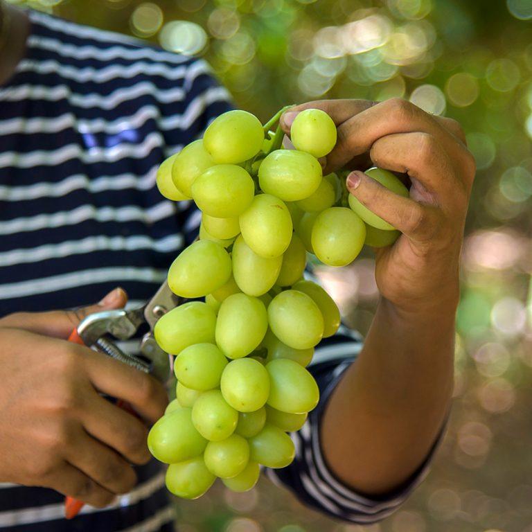 אשכול ענבים לתפארת
