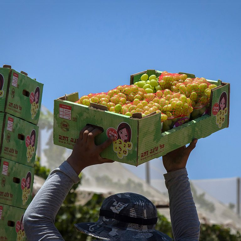 עוד ארגז ענבים בדרך לשוק