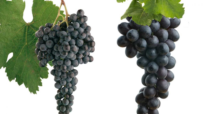 מה בין כרם יין לכרם מאכל?