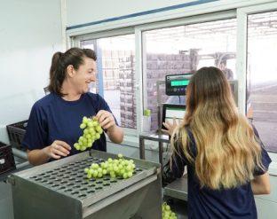 בקרת איכות לענבים